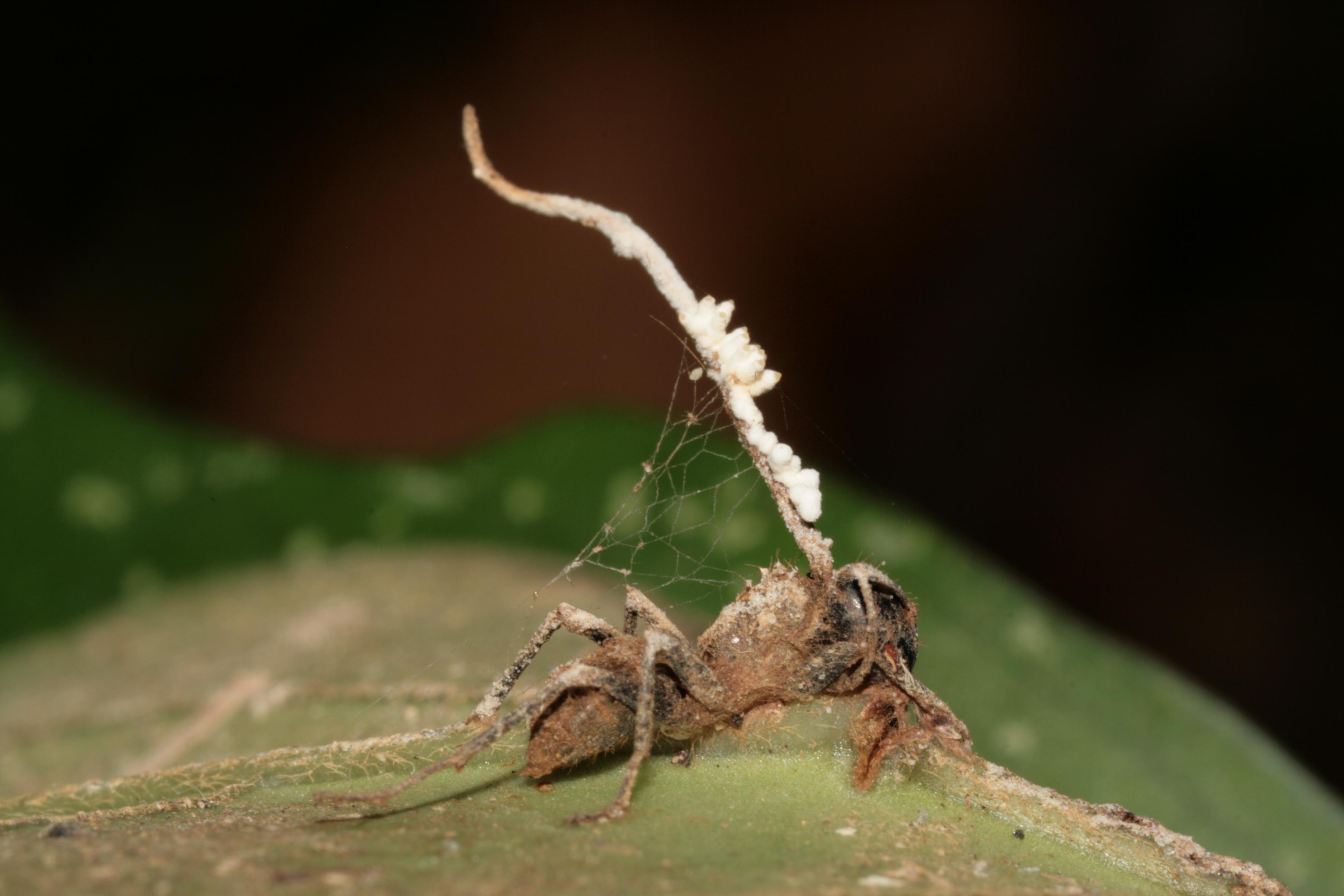 Грибы-паразиты: виды и чем они могу быть опасны