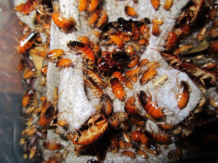Таракан туркменский (blatta lateralis) | клуб любителей муравьев