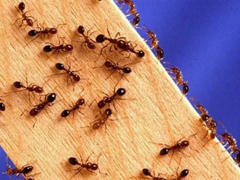 Откуда берутся мелкие муравьи в квартире и как от них избавиться