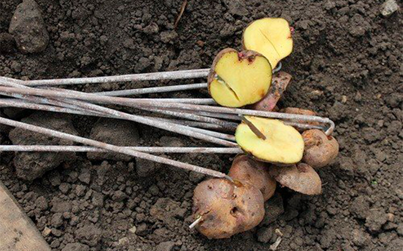 Как вывести проволочника и жука-щелкуна на огороде при помощи безопасных средств?