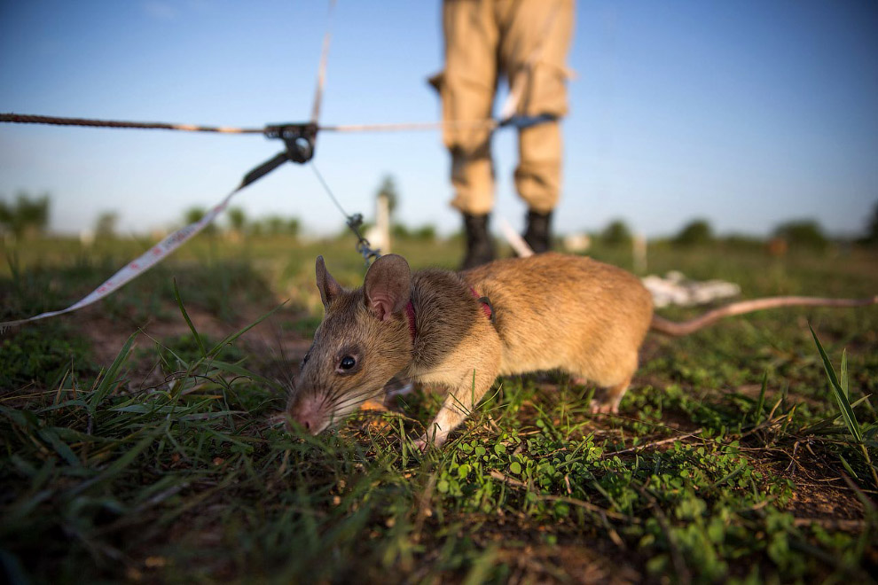Полинезийская крыса, или малая крыса | мир животных и растений
