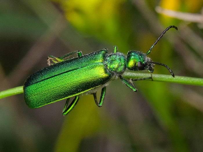 Жук навозник насекомое. описание, особенности, виды, образ жизни и среда обитания навозника