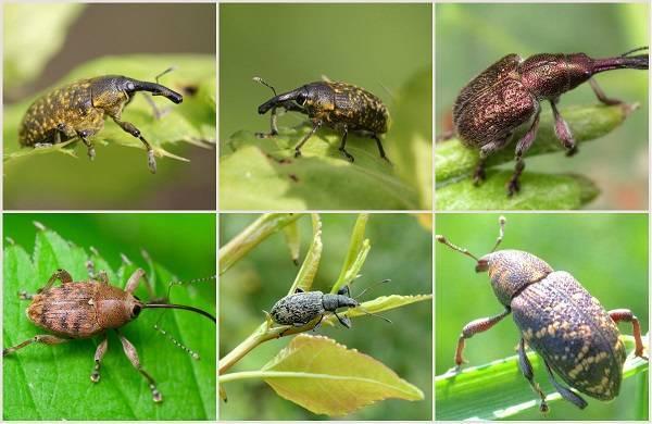 Долгоносик жук насекомое. описание, особенности, виды, образ жизни и борьба с долгоносиком | живность.ру