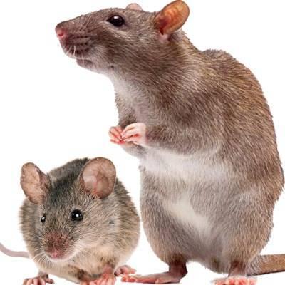 Чем отличается мышь от крысы: отличия крысёнка и мышонка, фото, как выглядят мышата, кто умнее, как определить, кто в доме