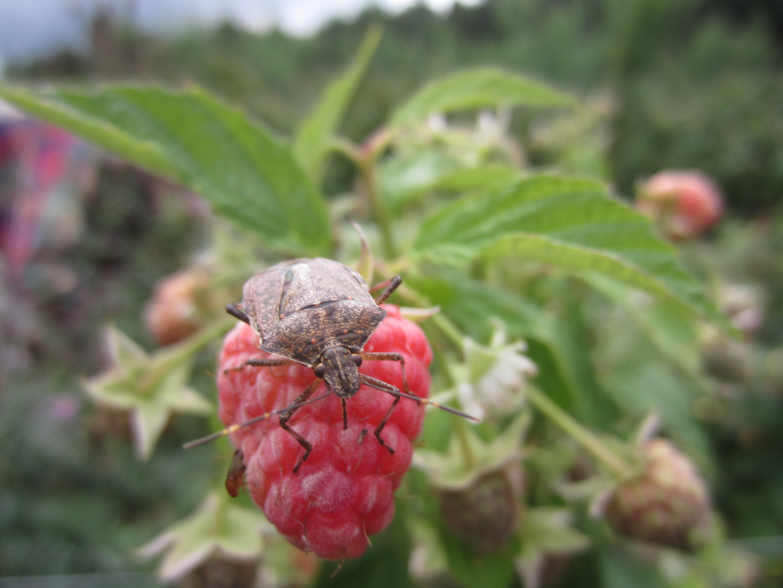 Стеблевая галлица на малине: как бороться с вредителем