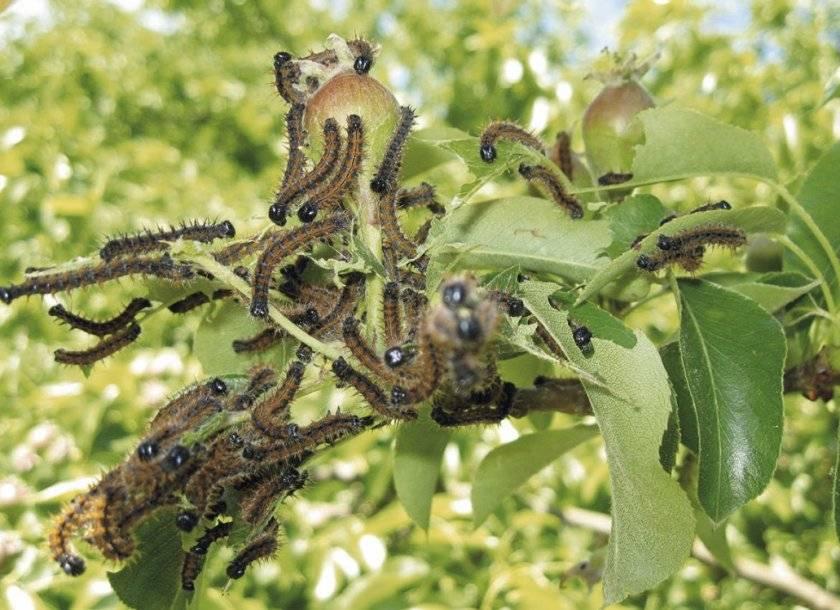 Методы борьбы с гусеницами на садовом участке - лучшие народные средства
