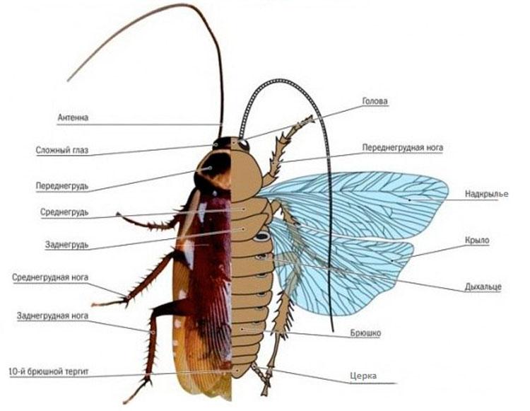 Тараканы: описание и строение насекомого, как выглядит на фото, виды, среда обитания, особенности питания и размножения русский фермер