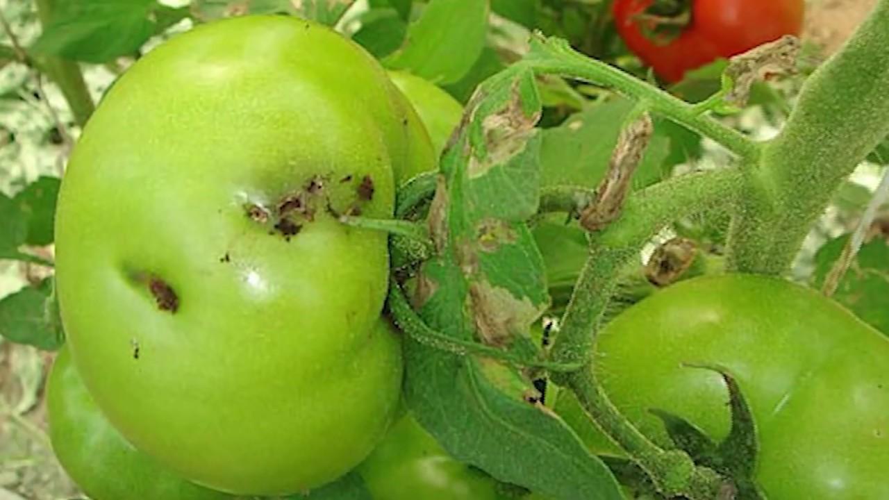 «тута абсолюта» — томатная минирующая или южноамериканская моль.