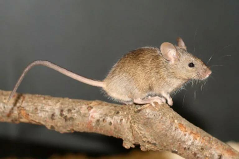 Домовая мышь - вики