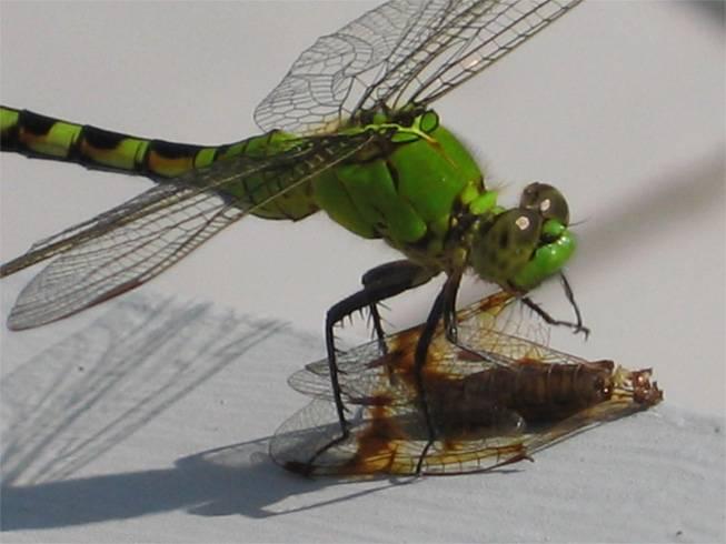 Коромысло синее | мир животных и растений