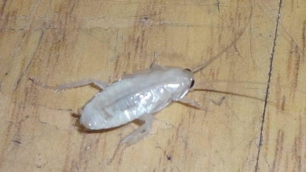 Тараканы-альбиносы в квартире