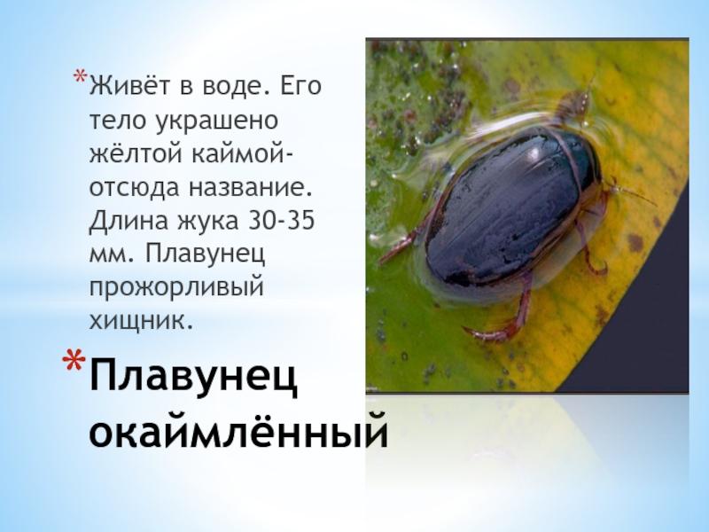 Жук водолюб большой: места обитания и внешний вид насекомого