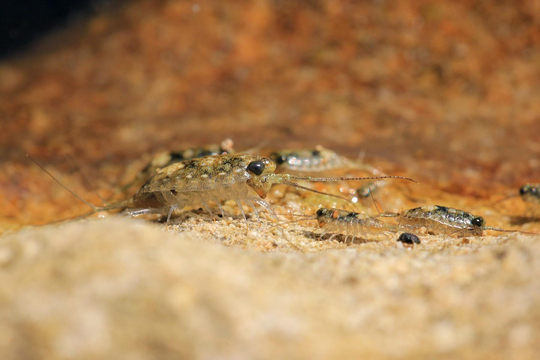 Морская блоха: внешний вид, среда обитания, особенности питания и размножения, фото