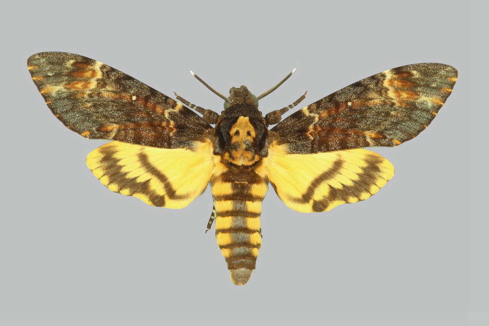 """Как выглядит бабочка """"мертвая голова"""". гусеница бабочки """"мертвая голова"""""""