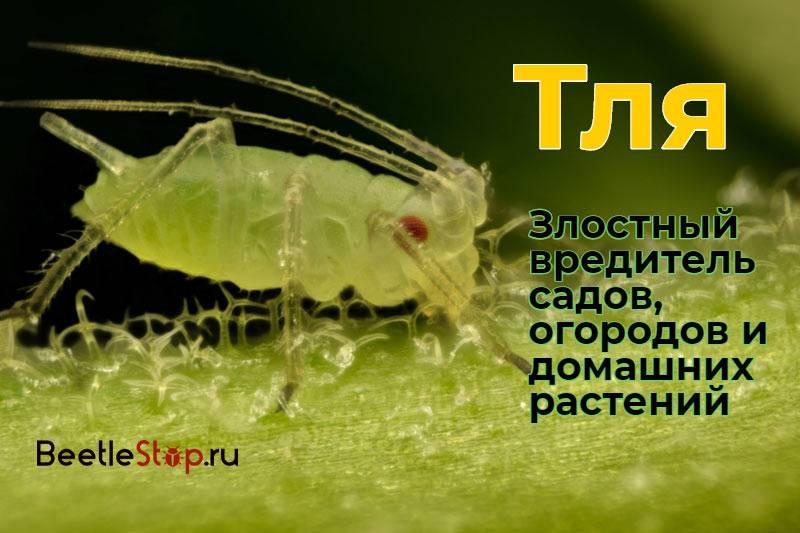 Тля – описание, виды, чем питается, жизненный цикл, фото