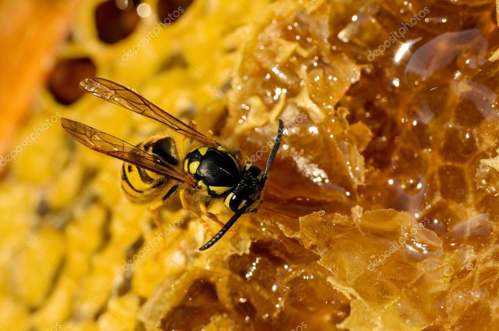 Как делают осы мед: факты и отличия от пчел