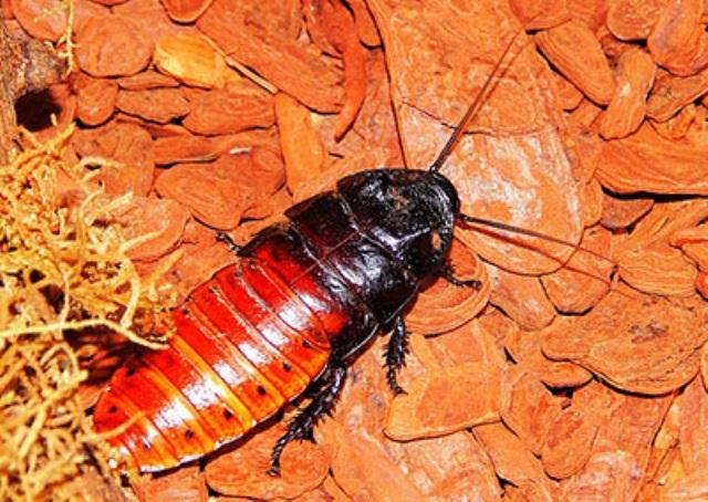 Правила содержания мадагаскарских тараканов