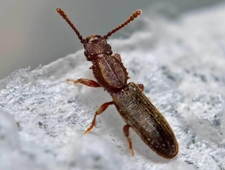 Малый и большой мучной жук хрущак: как избавиться в квартире