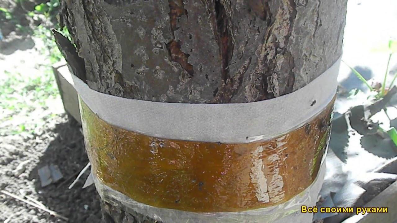 Чёрные муравьи на яблоне – признак появления тли и защита дерева