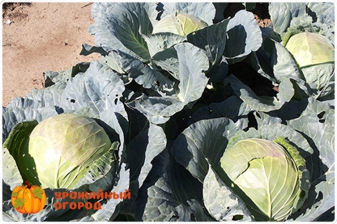 Чем обработать капусту: борьба с вредителями народными средствами