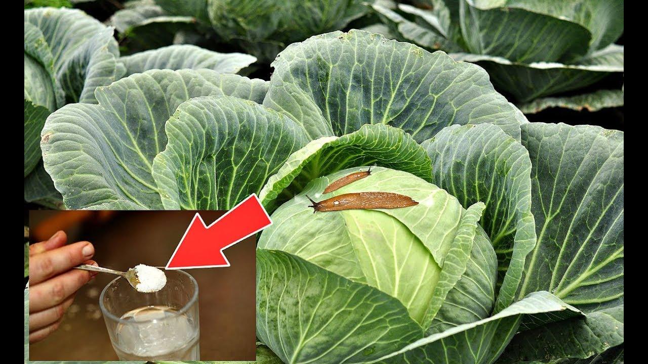 Борьба с капустной гусеницей — как правильно обработать капусту