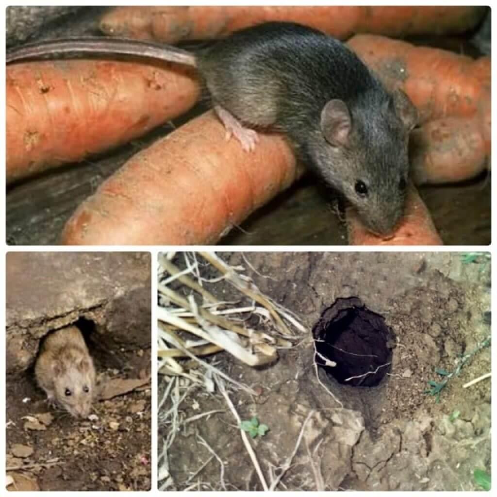 Как избавиться от крыс на участке - самые эффективные способы и средства