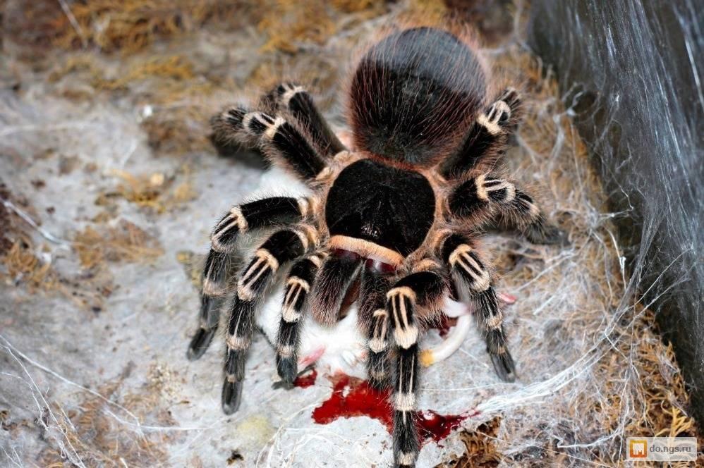 Всё самое важное и интересное о тарантулах