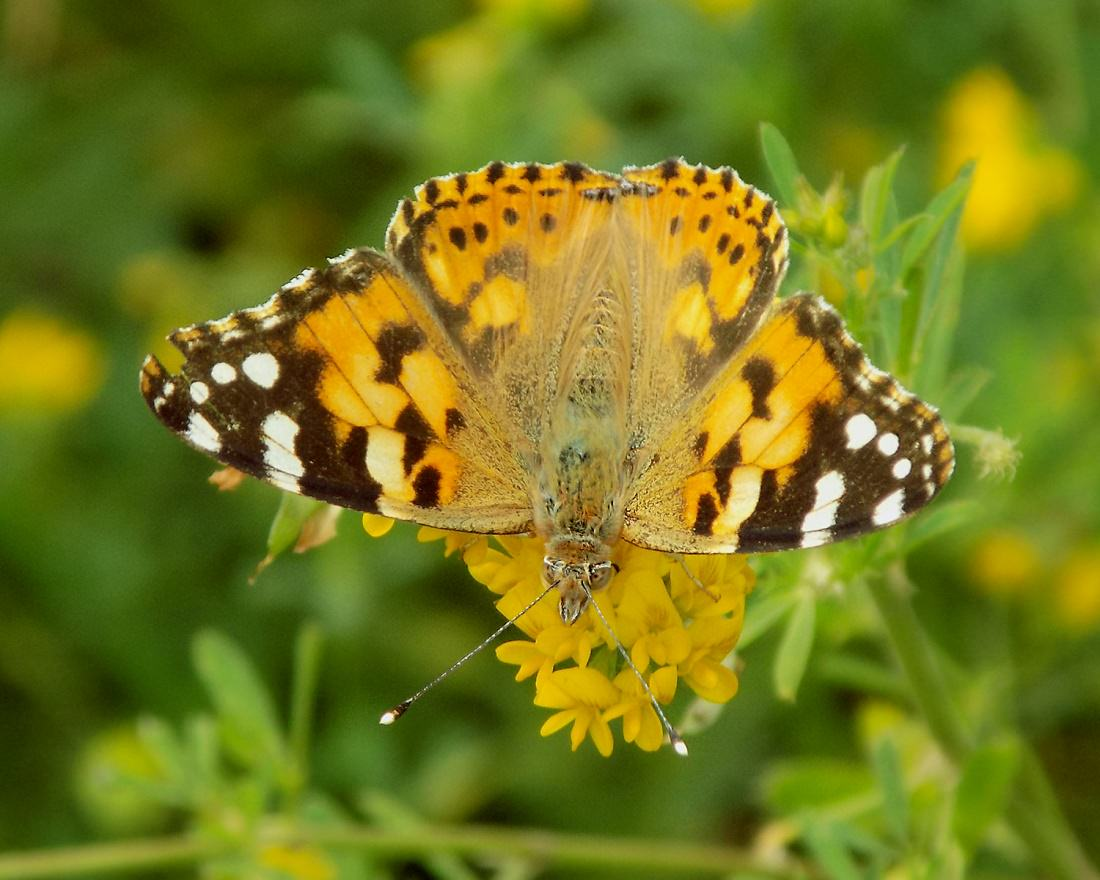 Бабочка репейница - описание, среда обитания, виды