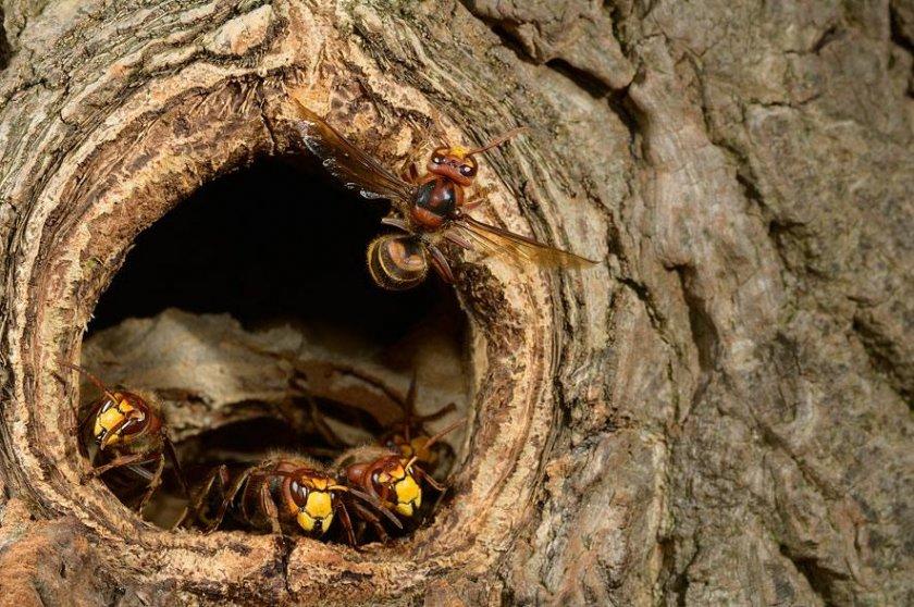 ✅ сколько живет оса, чем питается, зачем нужна в природе, где зимует, жизнь ос - tehnomir32.ru