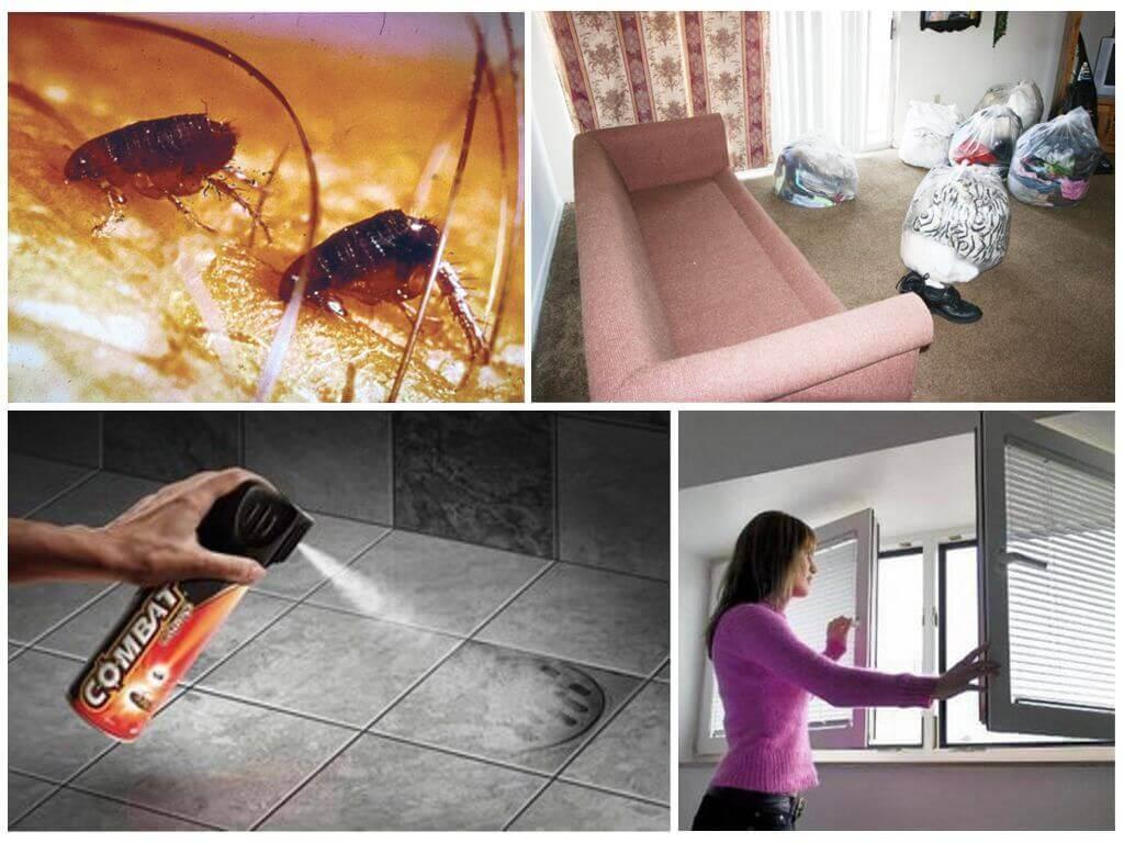 Блохи в квартире: откуда и как избавиться от их появления в доме быстро и эффективно с помощью дихлофоса, полыни и других средств + видео