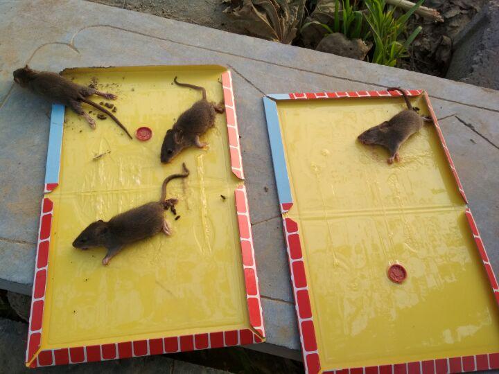 Лучшие клеевые ловушки для мышей, их достоинства и недостатки
