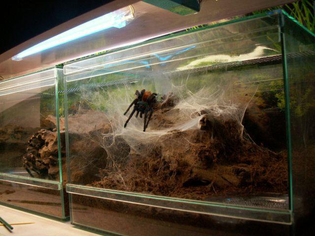 Паук скакун. описание, фото, размеры содержание в домашних условиях