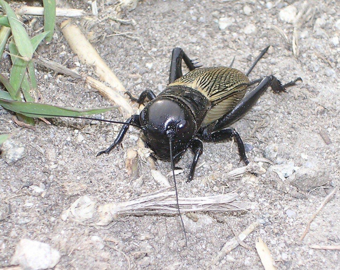 Сверчок – фото и описание стрекочущих насекомых