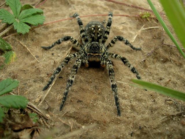 Южнорусский тарантул: как выглядит, где обитает, чем кормить в домашних условиях