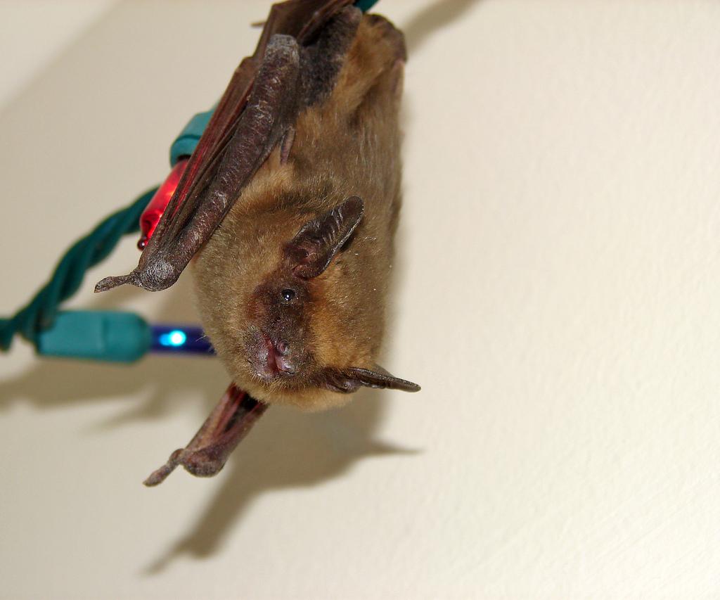 Как избавиться от летучих мышей на чердаке, в доме, на даче