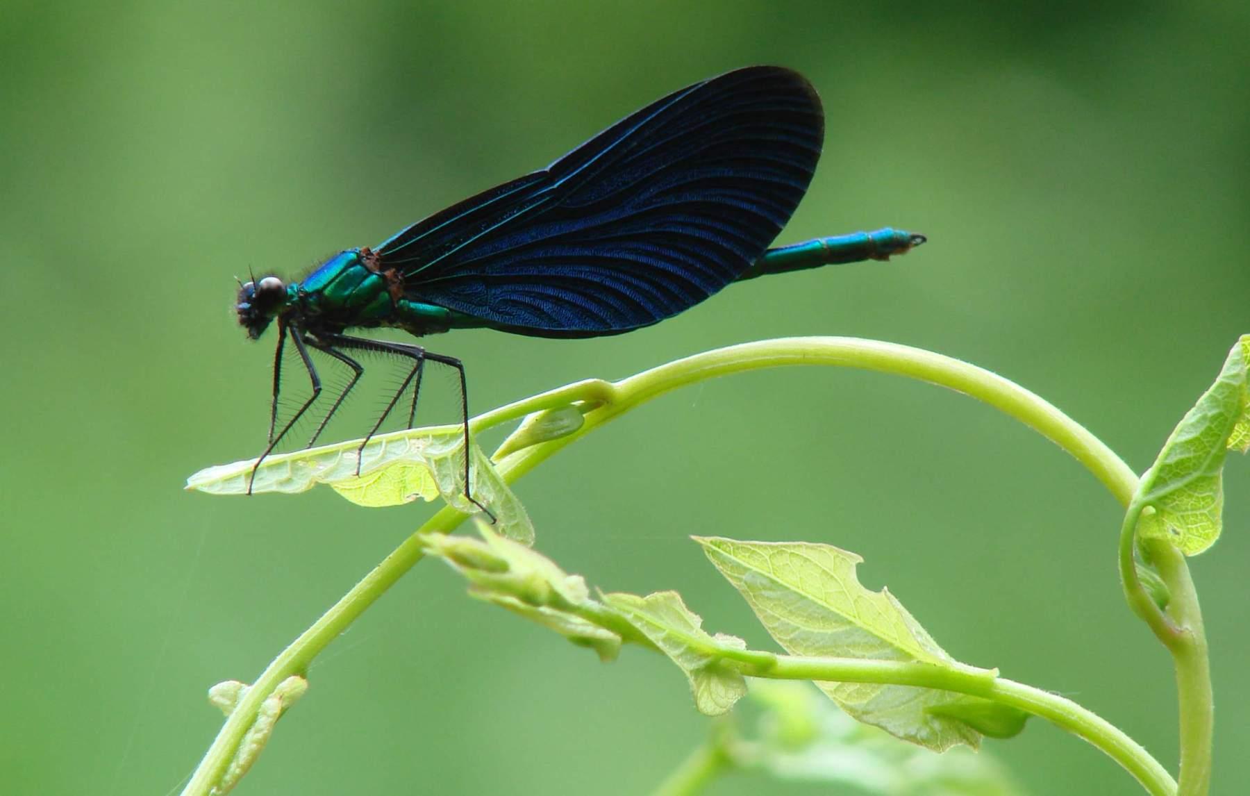 Красотка блестящая | мир животных и растений