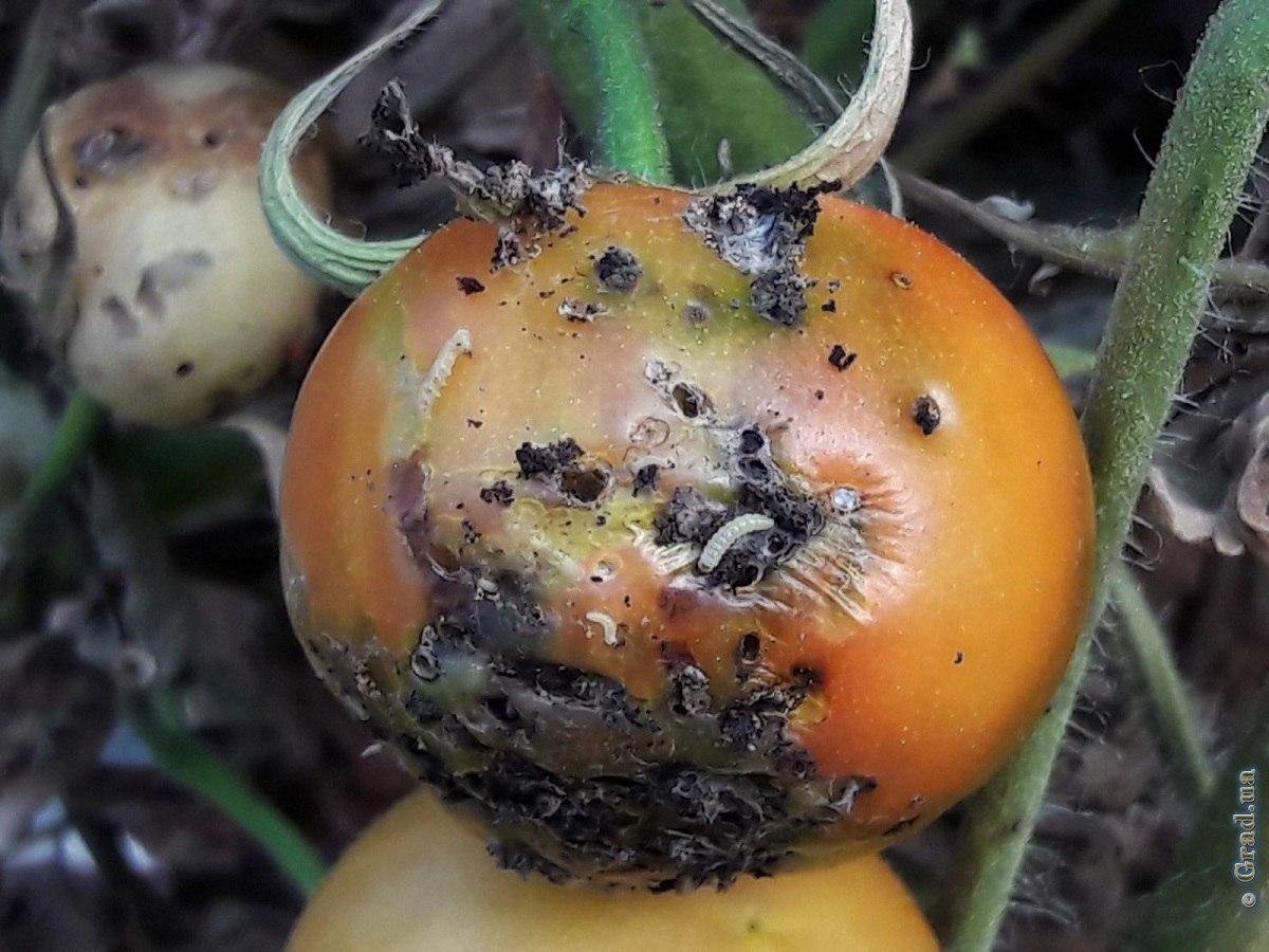 Кто ест помидоры в теплице и как с этим бороться?