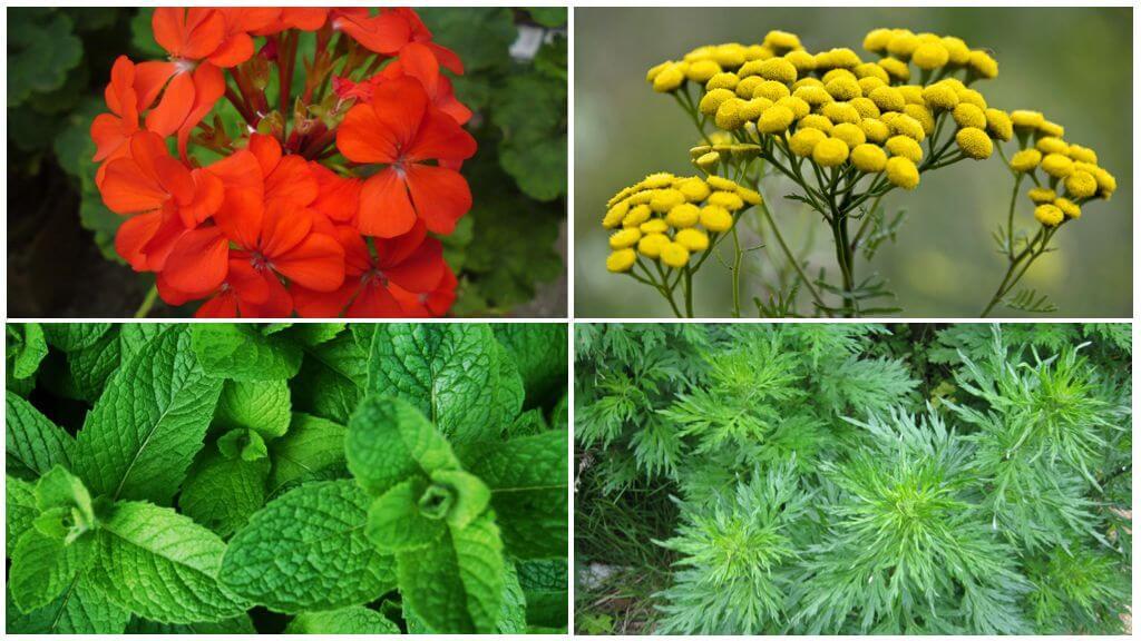 Растения, отпугивающие комаров и мошек