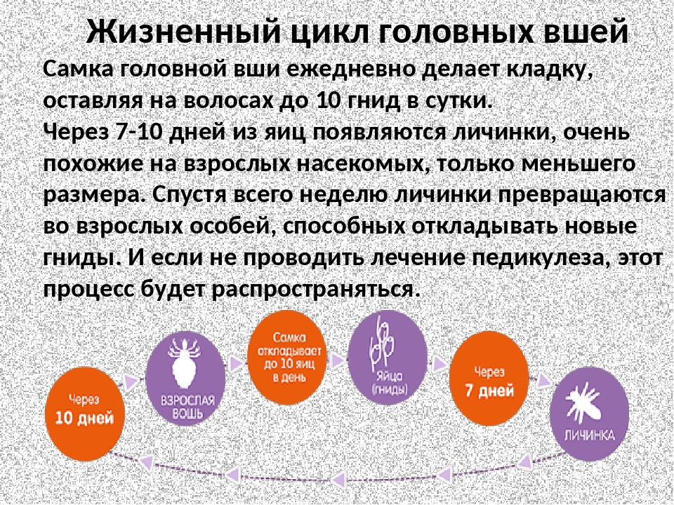 Размножение вшей у человека на голове: стадии развития вредителя