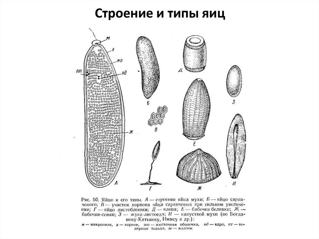 Как называется оболочка,в которую запакованы яйца тараканов
