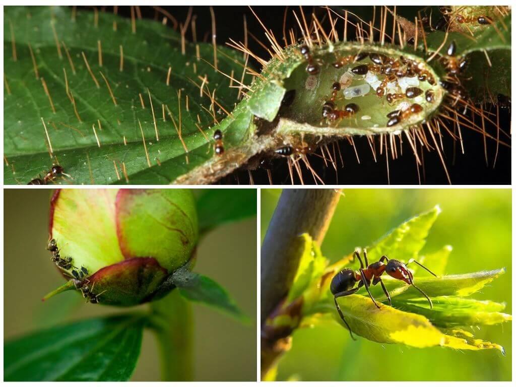 Различные способы борьбы с муравьями в теплице и парниках