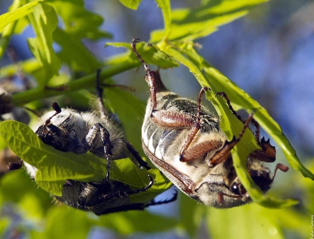 Описание и фото июньского жука