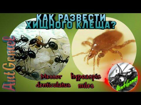 Муравьи - союзники в борьбе с клещами | новости сибирской науки