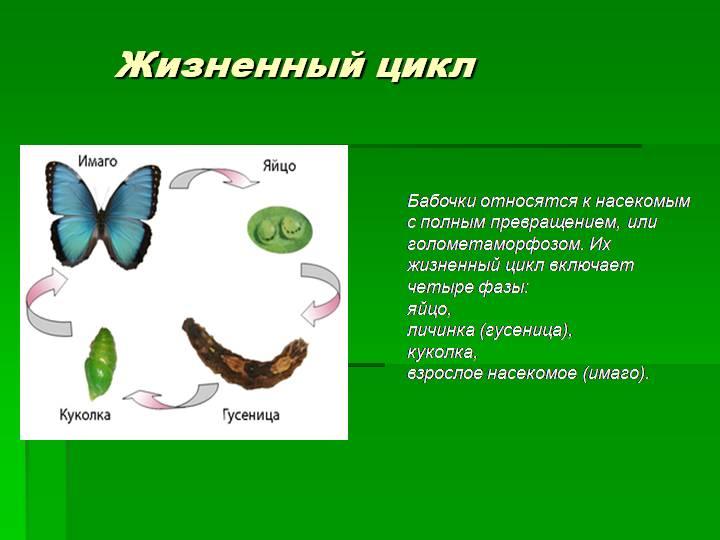 Превращение в бабочку или как гусеница становится бабочкой