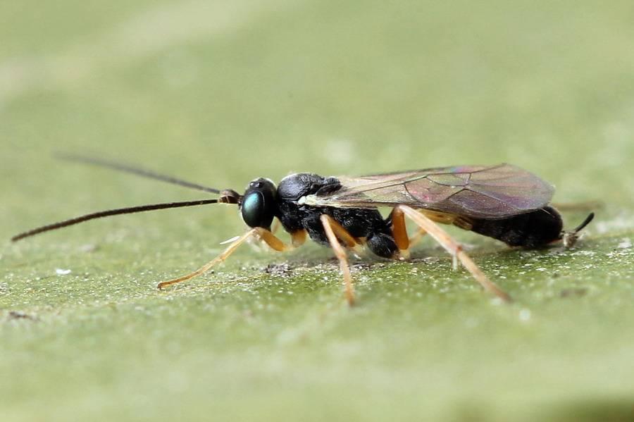 Об осе наезднике: опасна ли для человека, паразитические осы с длинным хвостом