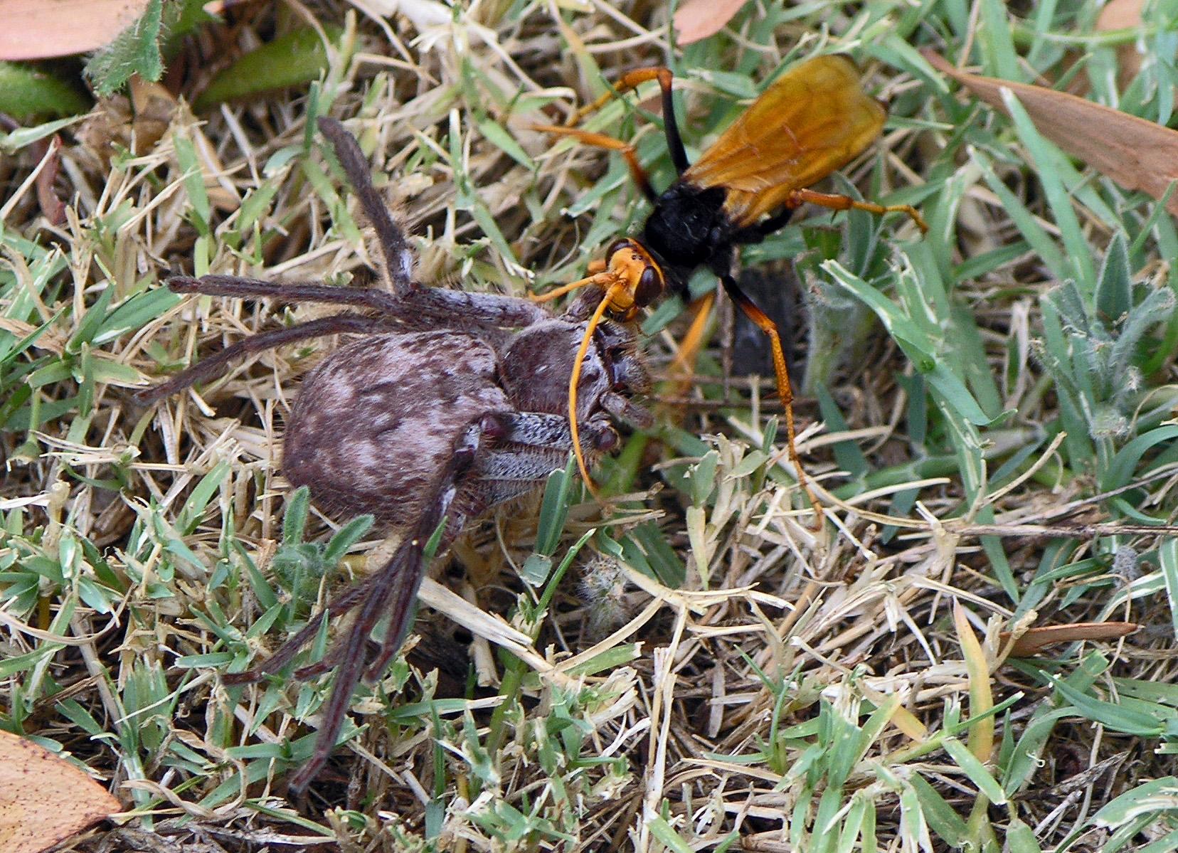 Черная оса: место обитания, вред и польза, опасны ли чёрные осы для человека