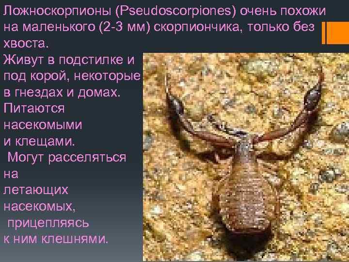 Ложноскорпион (лжескорпион) – описание, фото, виды, чем питается