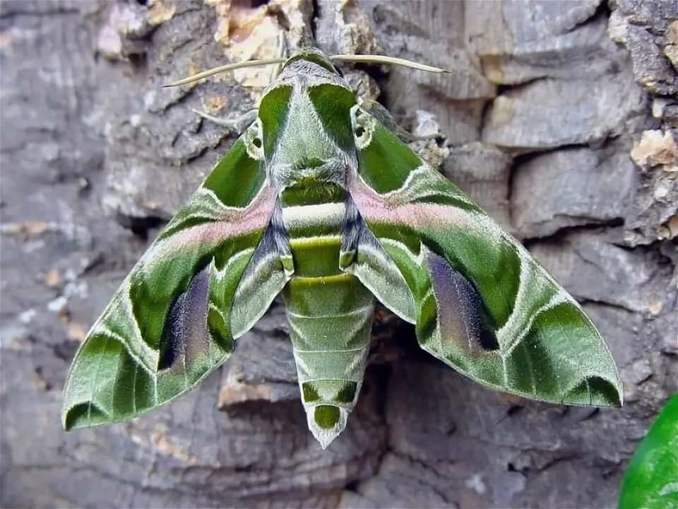 Пестрянка: яркая бабочка, вредящая саду;кто такая пестрянка?