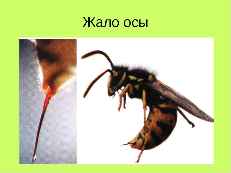 Яд осы: польза или вред