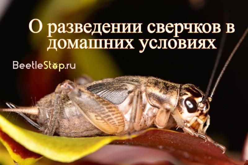 Сверчки. разведение на корм